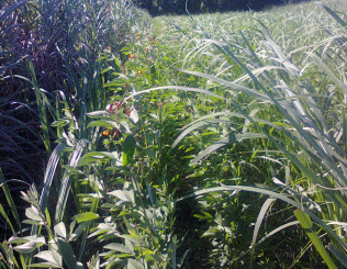Intercropping Pulses with Sugarcane