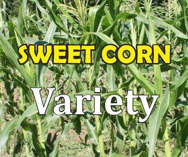 Sweet Corn Variety