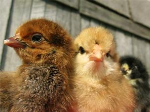 Common chicken problems